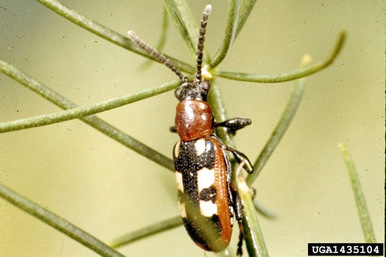 Asparagus Beetle Control: The Gardening Site That