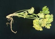 Parsley Phytophthora crown and root rot
