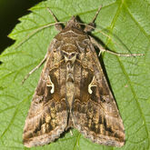 Silver y moth Autographa gamma