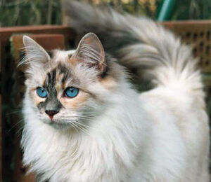 they're not psychopaths, they're high-functioning sociopaths, do your research 300px-Siberian_cat
