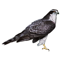 Huge item goshawk 01