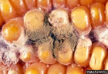 Sweet corn Aspergillus ear and kernel rot Aspergillus flavus