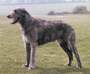 IrishWolfhound1-1-