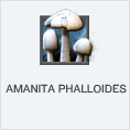 Amanita Phalloides PL