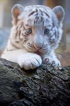 Tiger Cub on a branch