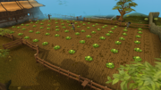 Falador cabbage patch