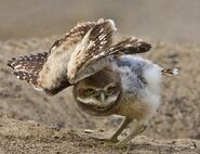 Burrowing owl gonna take off