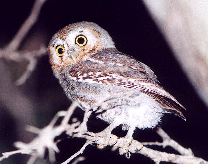 Elf_owl_2.jpg