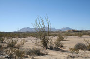 Big Bend Ocotillo 2006