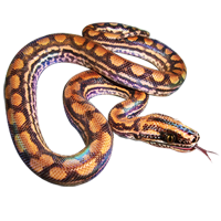 Huge item rainbowboa 01