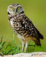 Burrowing.owl.c03.06.2006.JZ3F8972.c-700