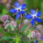 Useful Herbs Guide | Information (W.I.P.) Borage_Leaves