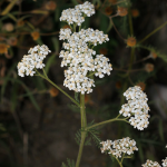 Herb Information Common_Yarrow