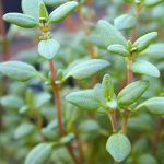 Herb Information Thyme