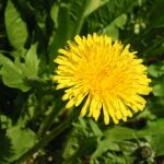 Herbs of the clans Dandelion