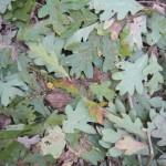 A healers herbs Oak_Leaf