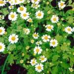 Herbs of the clans Feverfew