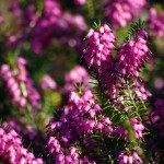 Herbs of the clans Heather