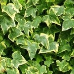 Herbs of the clans Ivy_Leaf