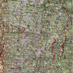 Alder Bark