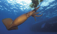 Humboldt-Squid