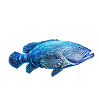 Huge item goliathgrouper 01
