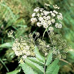 Water hemlock
