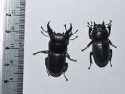 Dorcus titanus 02 flat stag