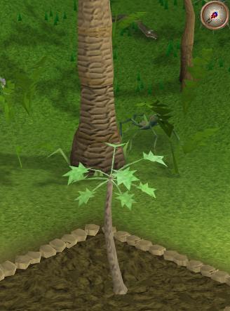 The papaya tree grows a bit larger.