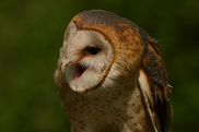 Barn Owl screeching