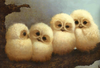 Baby Barn Owls