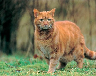 Image result for sandy ginger cat