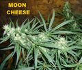 Moon cheese 005.JPG