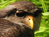 Bubo sumatranus (Barred Eagle Owl)