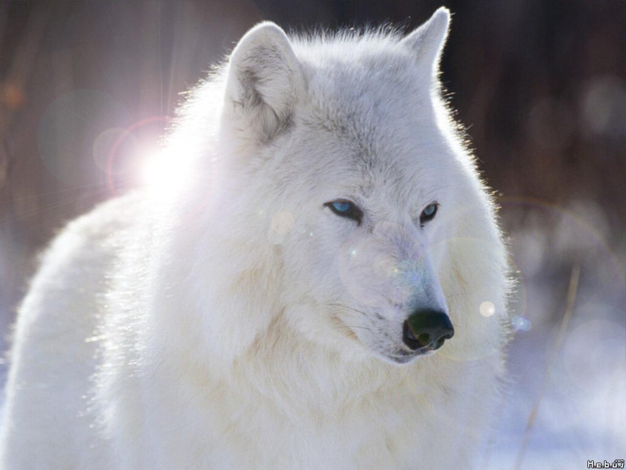beautiful blue white wolf - photo #8