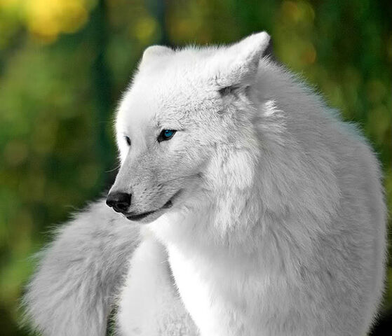 559px beautiful white wolves wolves 32683888 718 616