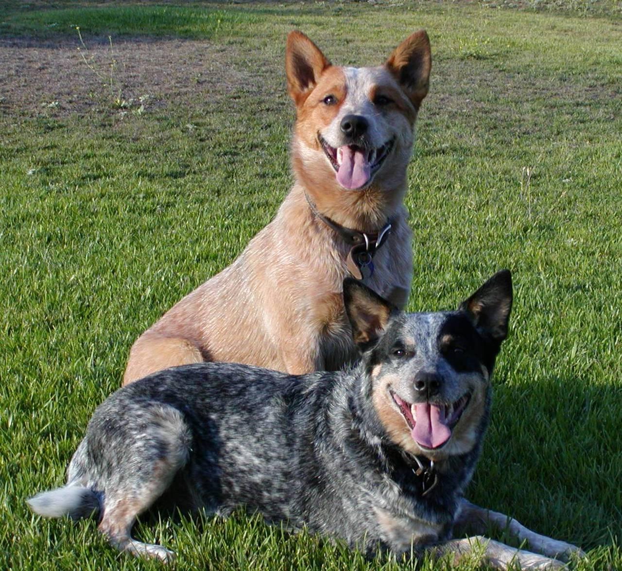 Australian Cattle Dog - SAKC Dogs Wiki